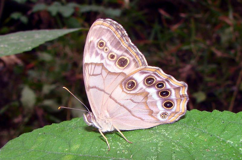 Southern Pearly-Eye (Lethe [Enodia] portlandia missarkae) male.  TX: Harrison Co. (Caddo Lake State Park), 3 September 2007.