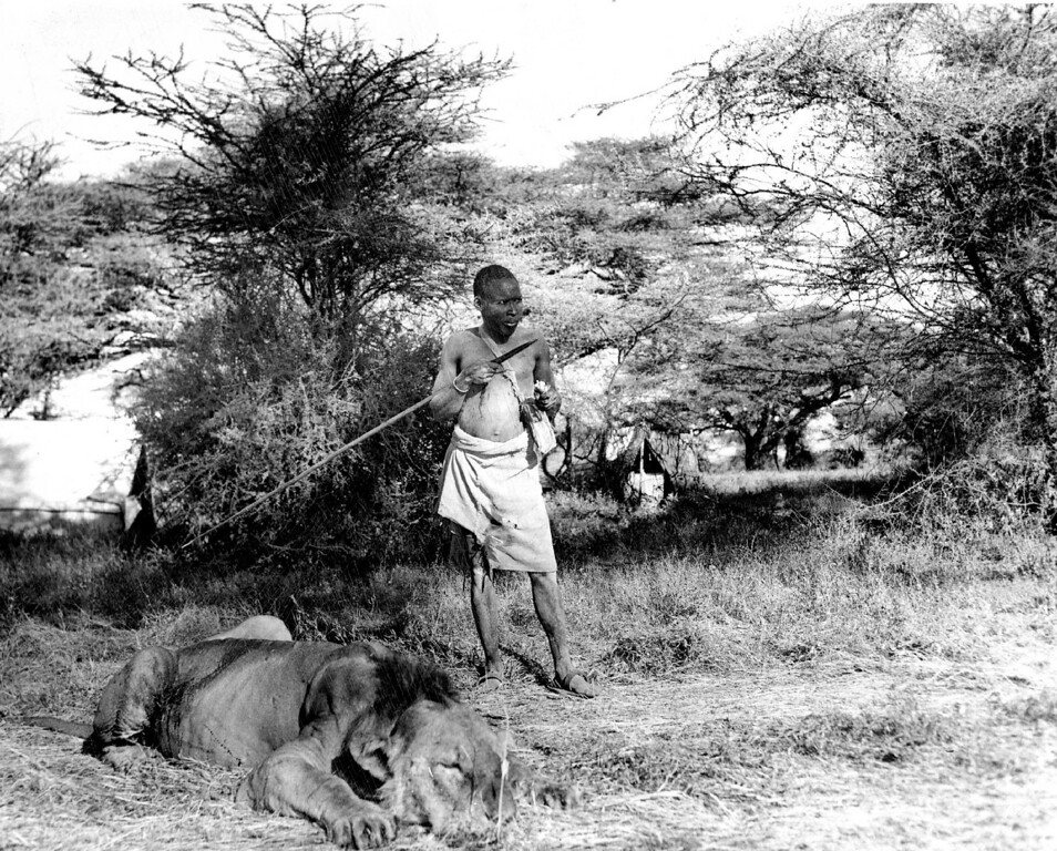 . MAR 4 1950  The Turkana native, unlike other tribes, carries no knife, his spear serves for everything from skinning out animals to slicing off mouthfuls of fat from the dead lion at his feet.   Credit: Denver Post