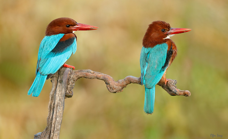 White-throated Kingfisher pair.jpg