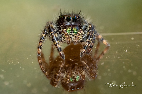 The Jumping Spider and the June Bug