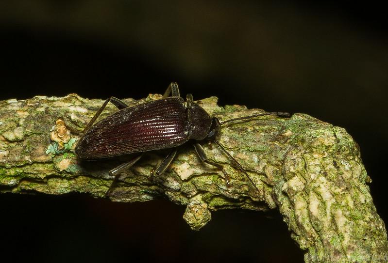 Darkling Beetle (Tenebrionidae: Alleculinae: Lobopoda sp.) from Monteverde, Costa Rica.