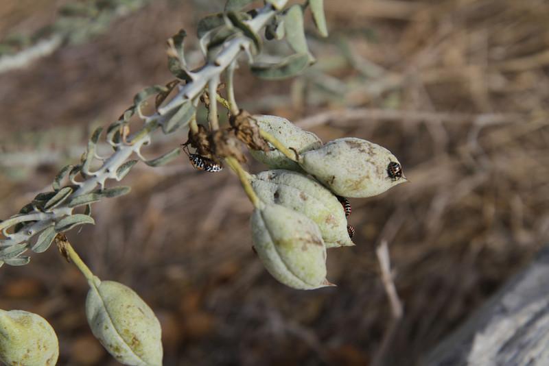 Bladderpod, Isomeris arborea with beetles.