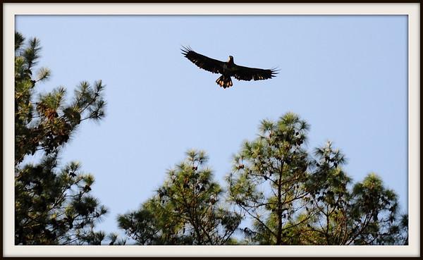 Eagles of Alligator(April)
