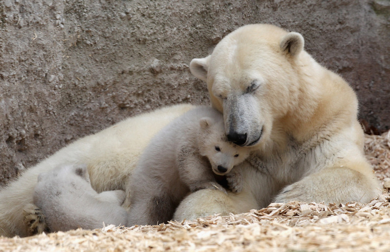 . 14 week-old twin polar bear babies rest with their mother Giovanna during their first presentation to the media in Hellabrunn zoo on March 19, 2014 in Munich, Germany. The male and female twins were born on December 9, 2013 in the zoo.  (Photo by Alexandra Beier/Getty Images)