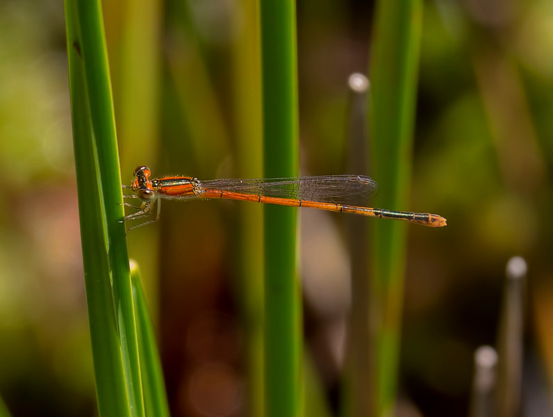 Female, Immature, Summit Bridge Ponds