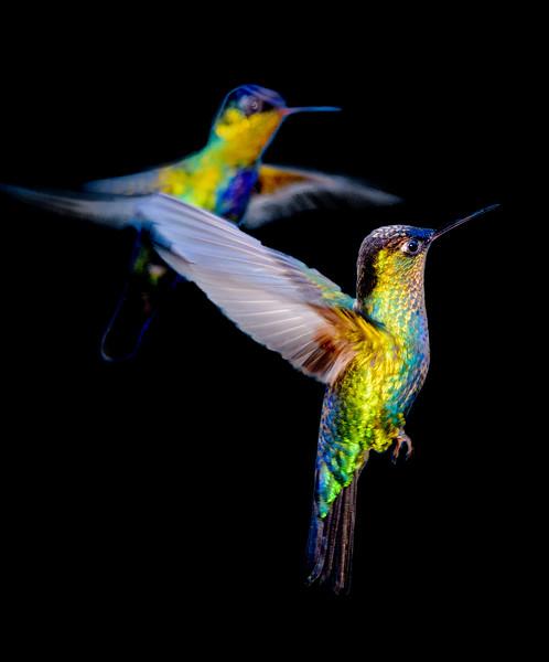Colourful hummingbirds in flight