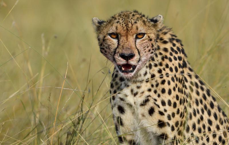 Cheetah-fresh-kill-blood.jpg