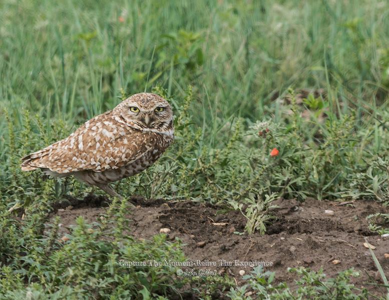 Bourghing Owl