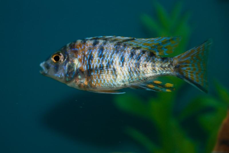 Aulonocara OB Peacock (African Cichlid) 3289549714.jpg