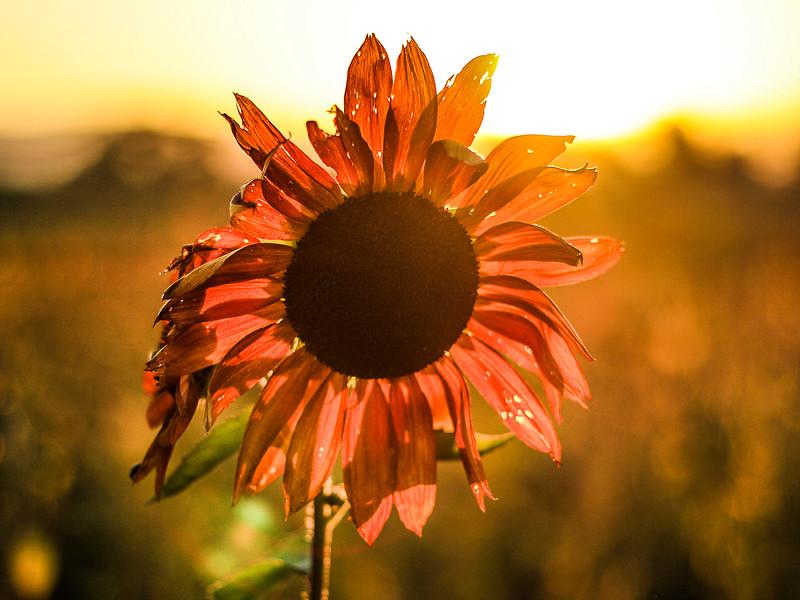 sauvieislandsunflower.jpg
