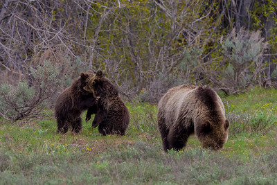 Grizzly Photos