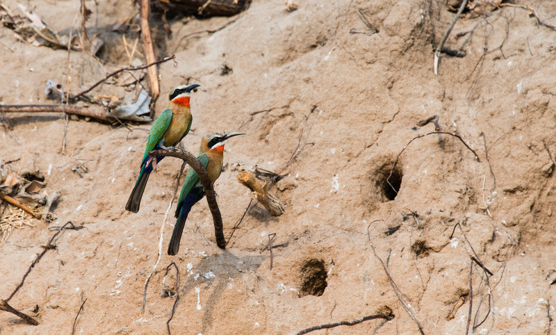 White Fronted Bee Eaters, Selous