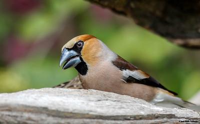 kjernebiter / Hawfinch