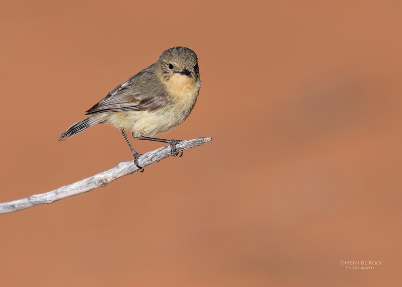 Yellow Thornbill, Bowra, Cunnamulla, QLD, Aus, Sept 2017-3.jpg
