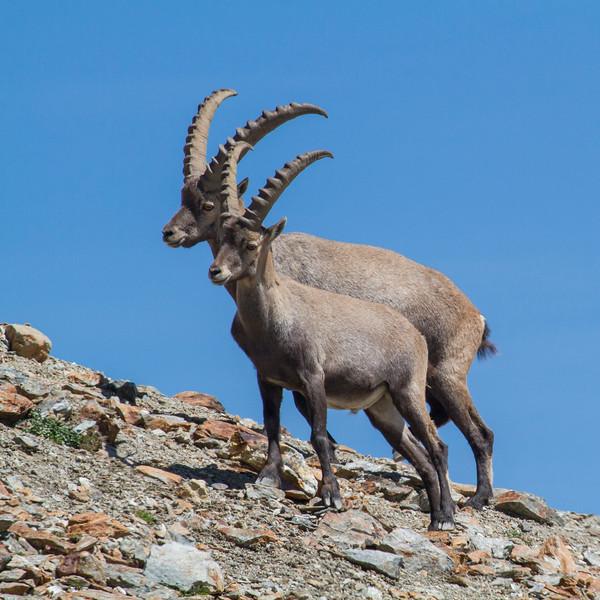 Tiere Schweizer Alpen