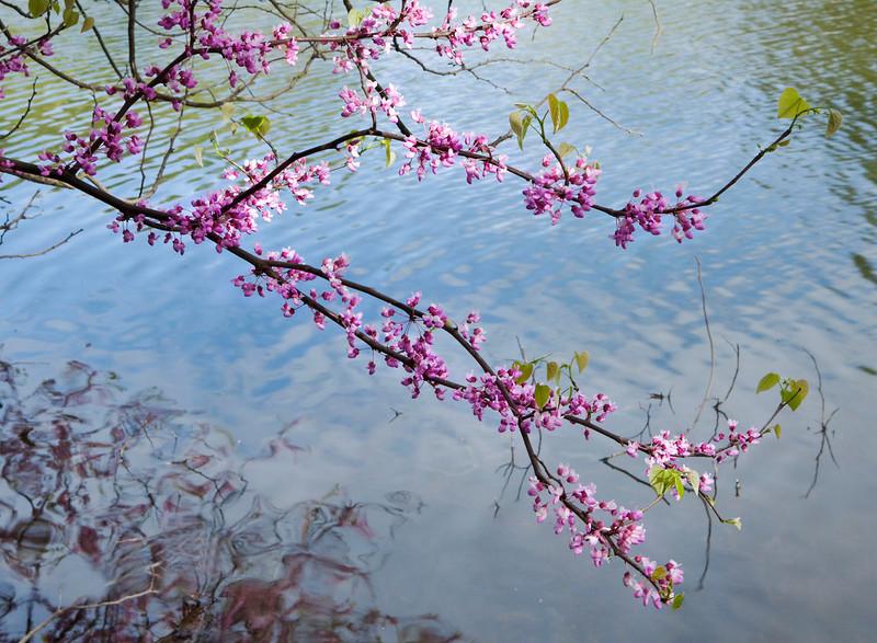 Redbud branches across Lake Marmo, Morton Arboretum, Illinois