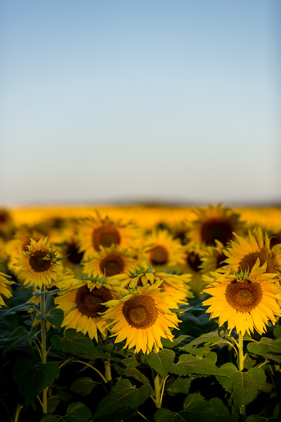 Mike Maney_Sunflowers-116.jpg