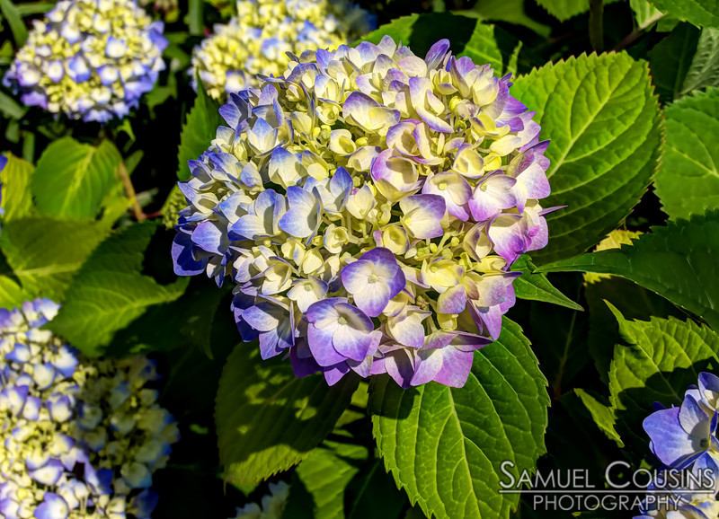 A hydrangea growing in blue and purple.