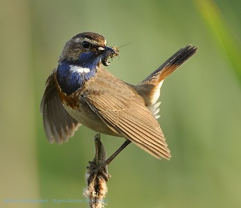 Vogels, Birds, Oiseaux, Vögel