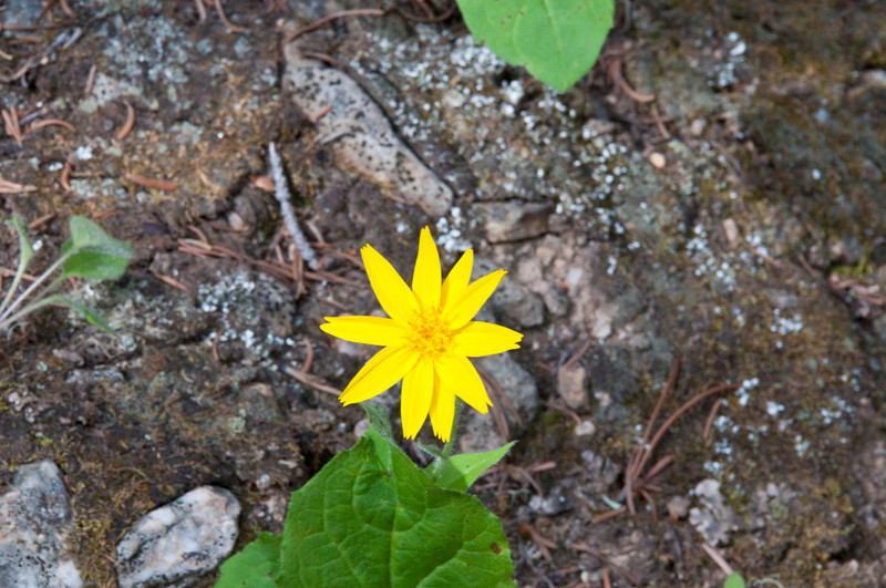 Yellow wildflower.jpg