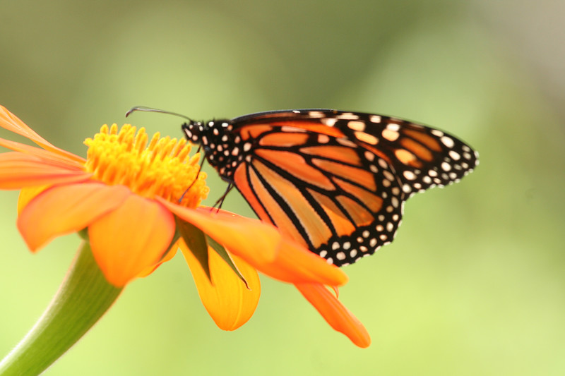 monarch_4073.JPG