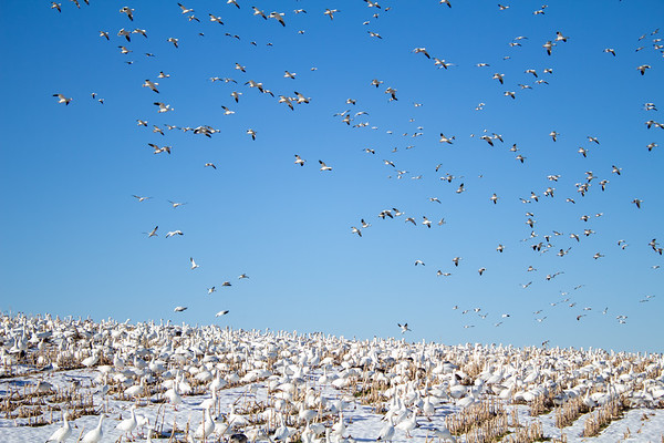 Middle Creek - Snow Geese Migration