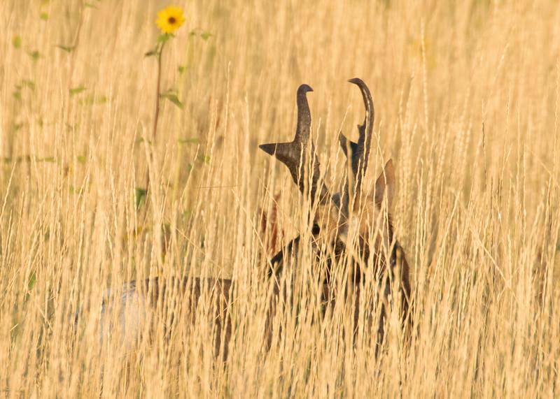 Pronghorn Antelope Buck in High Grass