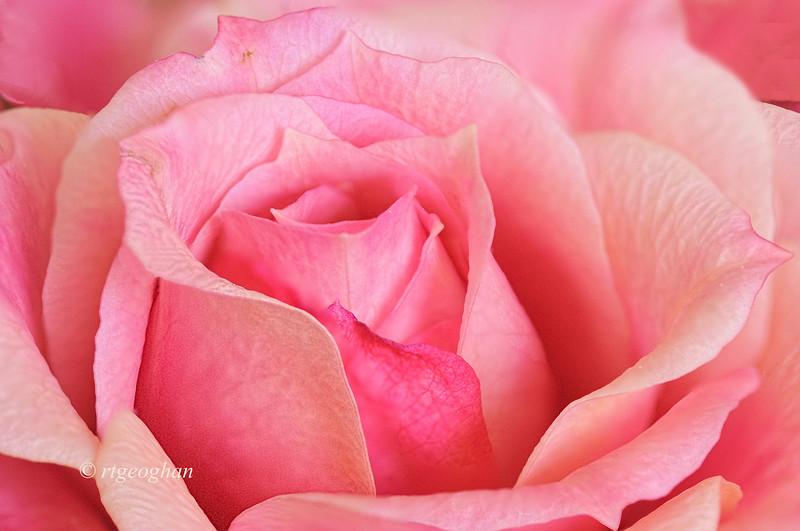 Apr 3_Pink Rose_7077-84merge.jpg