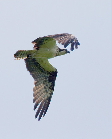 Osprey - Female