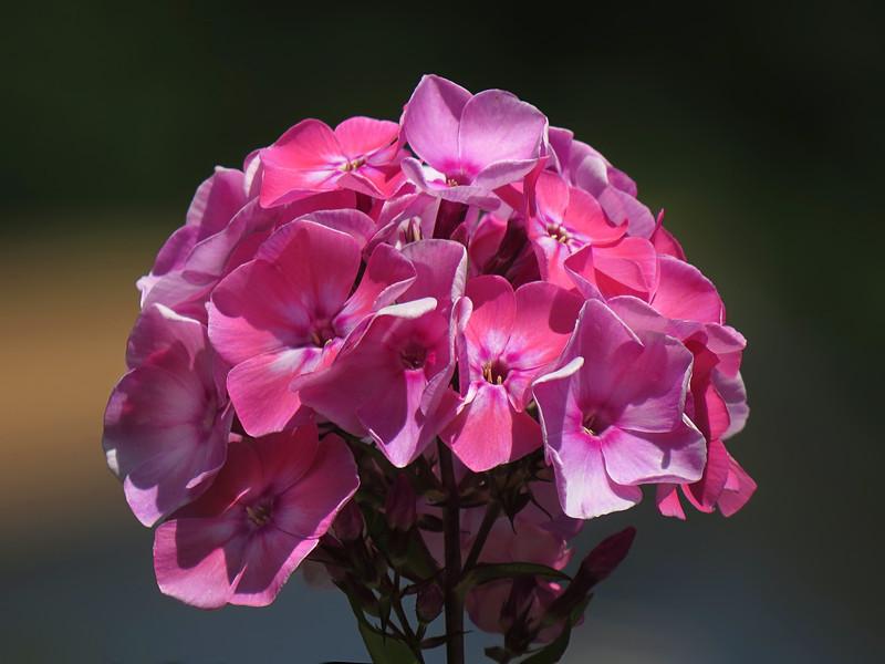 sx50_flora_blossoms_phlox_098.jpg