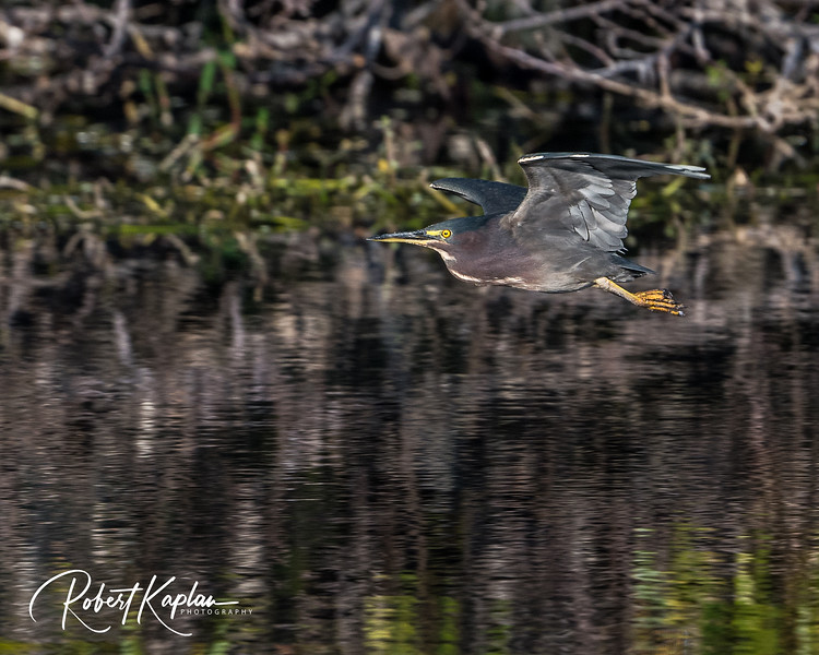 Green Heron-8805.jpg