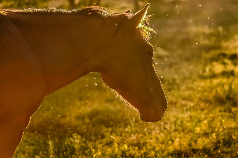 Wild Horse and Flies.