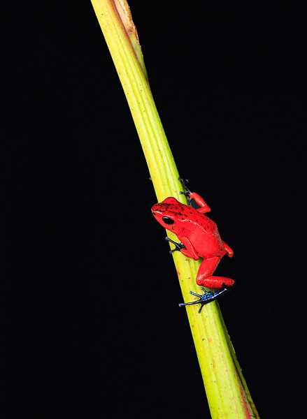 Red Poisen Dart Frog.jpg