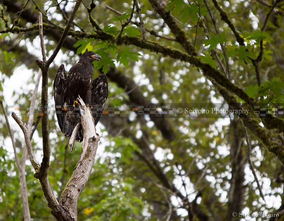 PAWS Eagle Release 2015