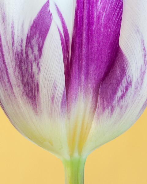 fuschia and white flame tulip