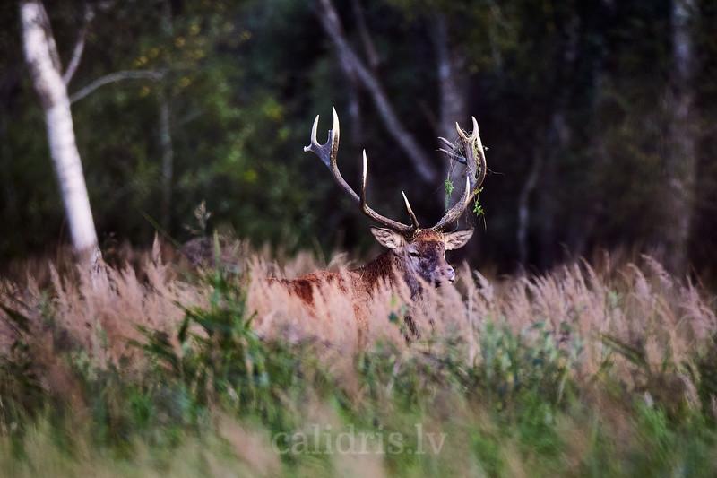 Briežu bullis baurā / Red deer stag lek