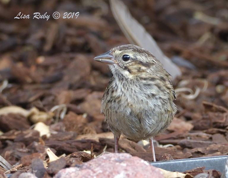 Juvenile Song Sparrow - 7/3/2019 - Sabre Springs Backyard