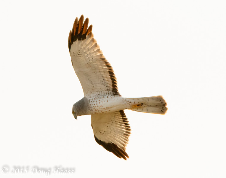 Adult male Northern Harrier Circus cyaneus