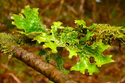 DAY 33 - February 2, 2011 - Lungwort Cynthia Meyer, Tenakee Springs, Alaska