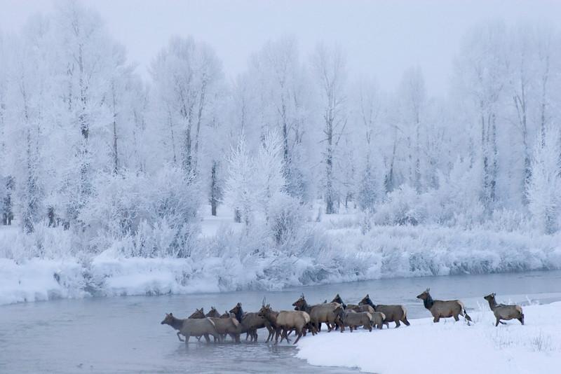 elk crossing.jpg