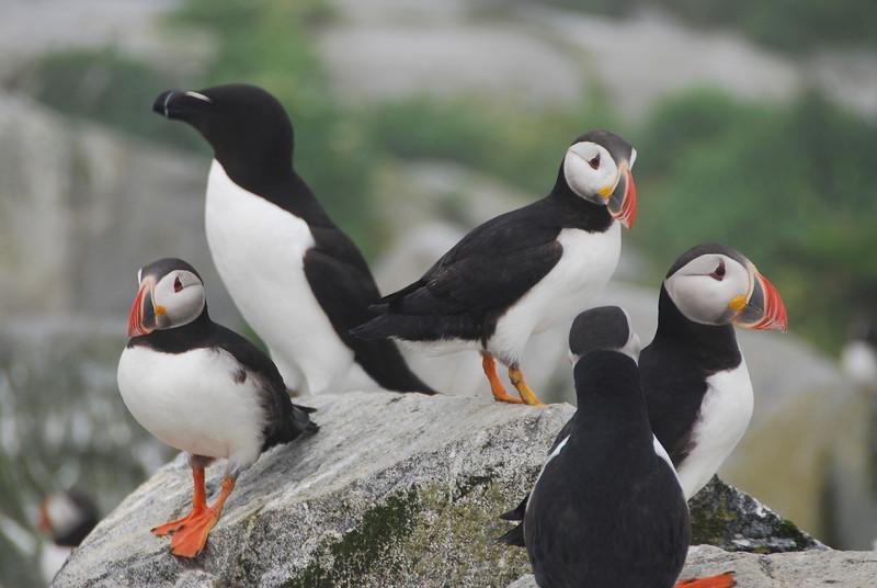 Machias Seal Island Trip - 100