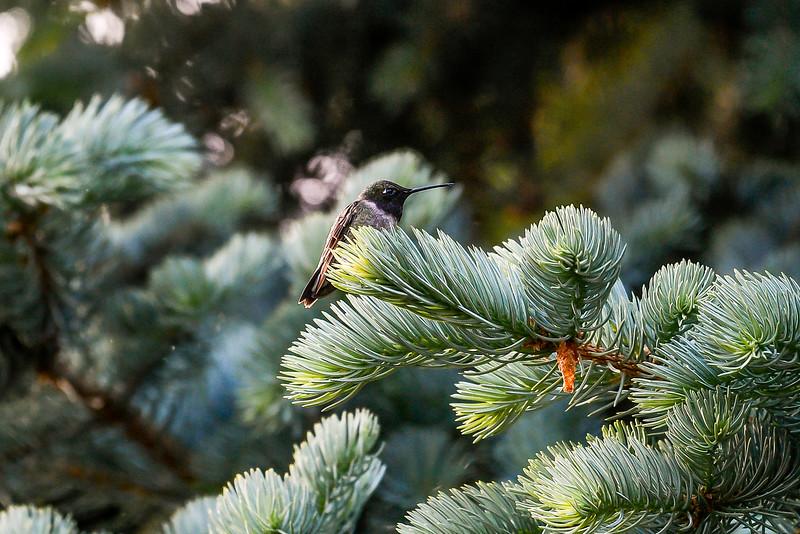 21MayHummingbirds (7 of 53).jpg
