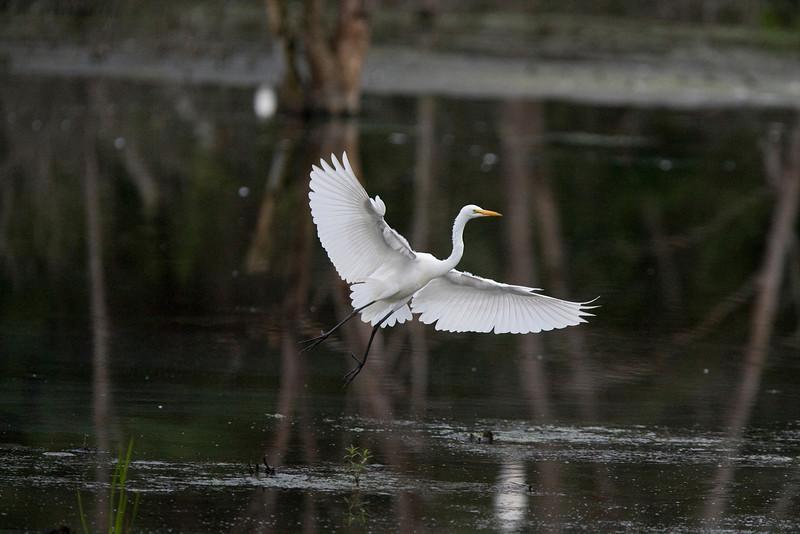 egrets-34-24.jpg