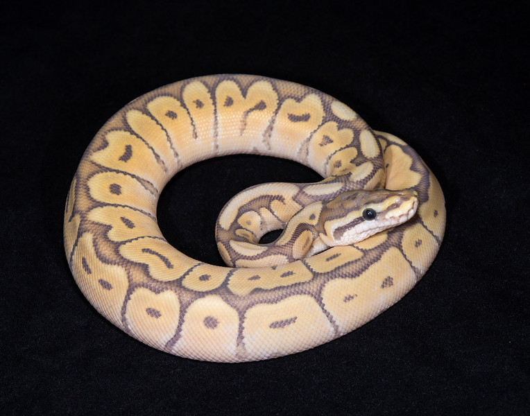 124MMGS, male Mojave Ghost Spider, $250