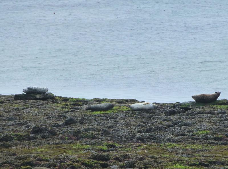 Aran Island Seals.jpg