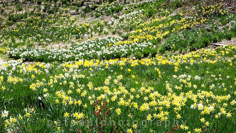 Daffodils-3.jpg