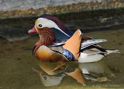 Ducks & Teals