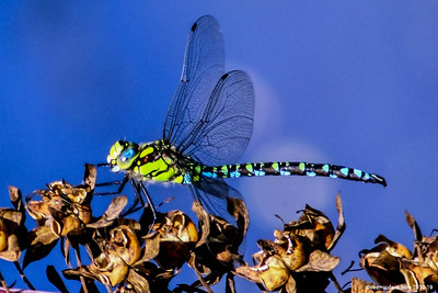 Greeting Cards - Dragonflies