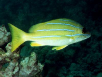 Lutjanus kasmira (Lutjanidae)