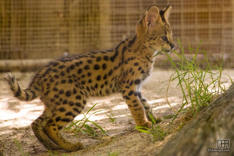 Three month old Serval kitten